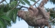 Tree-Climbing Sloth, Amazon Gero Tours