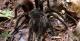Tarantula, Amazon Gero Tours