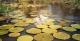 Vitoria Regina Water Lilies, Ararinha Lodge
