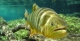 Dourado Fish in Bonito