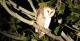 Nocturnal Wildlife - Barn Owl, Pantanal