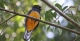 Surucua Trogon, REGUA Atlantic Rainforest Lodge