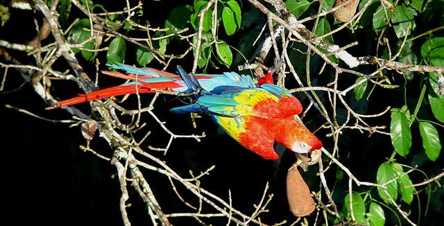 Scarlet Macaw at Cristalino Lodge