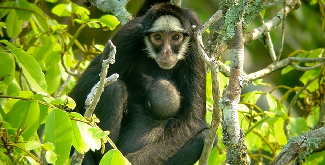 White Whiskered Spider Monkey - Cristalino Jungle Lodge