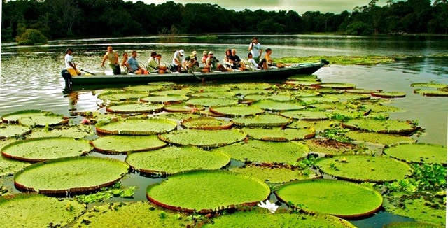 Giant Water Lillies - Amazon Clipper Cruise