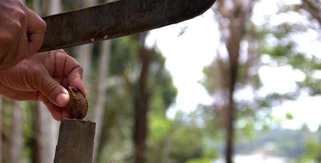 Brazil Nut, Amazon