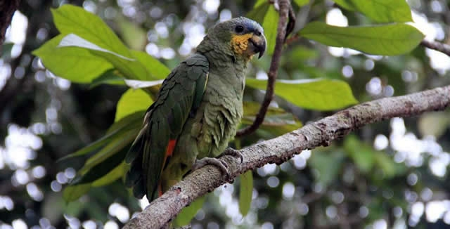 Amazon Parrot in the Amazon Jungle