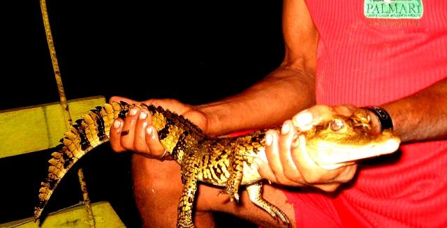 Baby Caiman, Palmari Nature Reserve