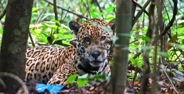 Jaguar, Mamiraua Amazon Nature Reserve