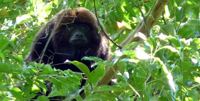 Monkey at Juma Lodge in the Amazon