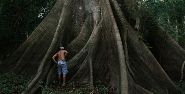Amazon Tree, Katerre Amazon Cruise