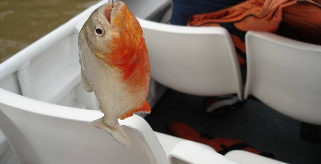 Piranha Fishing, Tucan Lodge