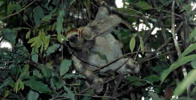 Sloth, Amazon Jungle