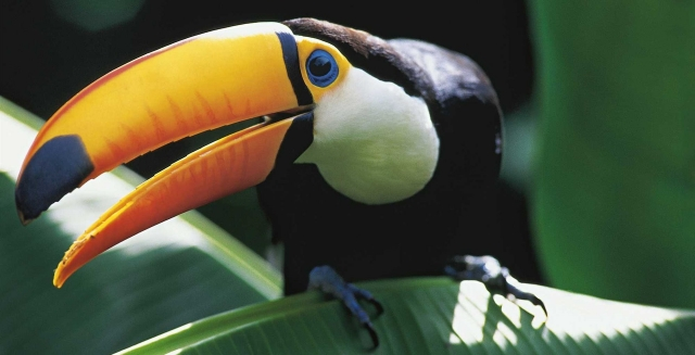 Toucan, Amazon Gero Tours