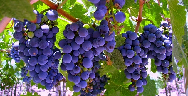 Argentinian Malbec Grapes