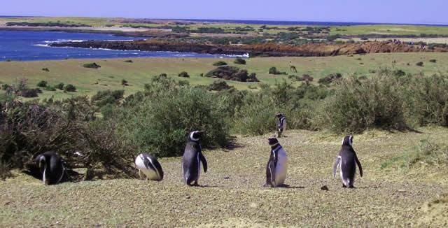 Magellanic Penguins, Punta Tombo, Patagonia, Argentina