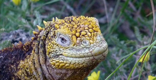 Iguana, Galapagos Islands, Ecuador