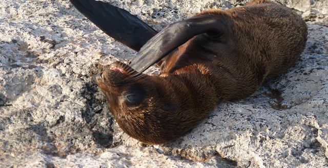 Sealion Cub, Galapagos Islands, Ecuador