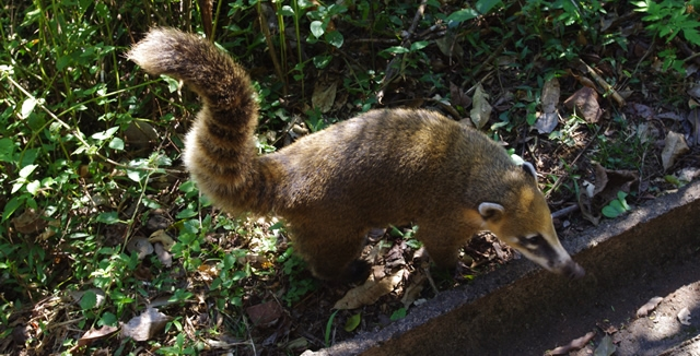Coati in Iguazu Falls