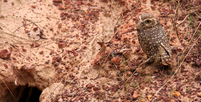 Burrow Owl, Jalapao State Park - Tocantins