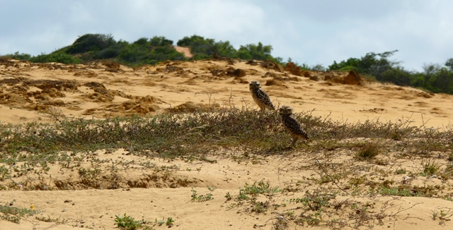 Burrowing Owls, Natal