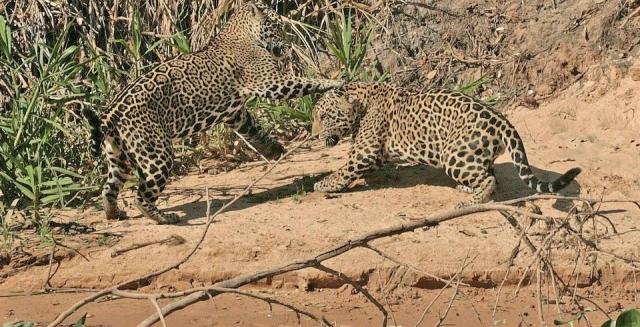 Jaguars at Play, SouthWild Pantanal Lodge