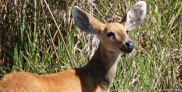 Pantanal Deer