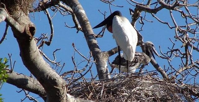 Jabiru Stork & Nestling - Piuval Lodge, Pantanal