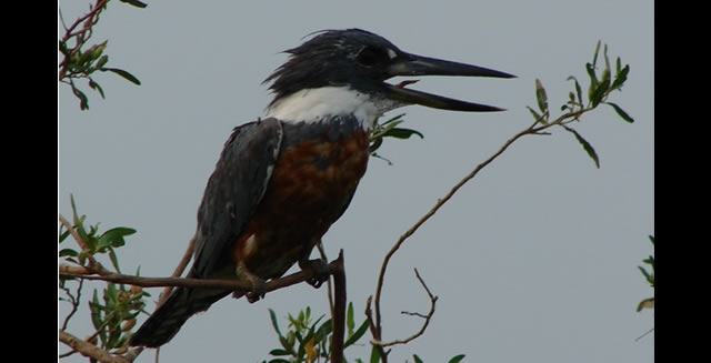 Kingfisher - Piuval Lodge, Pantanal
