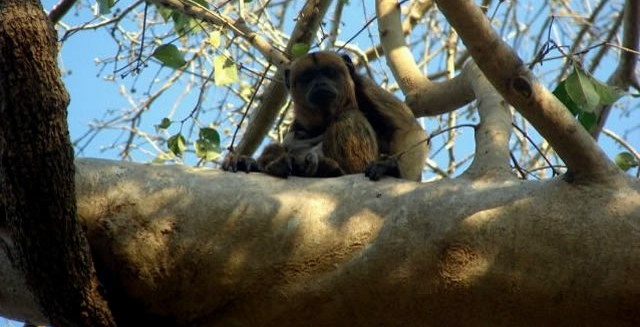Monkeys - Piuval Lodge, Pantanal