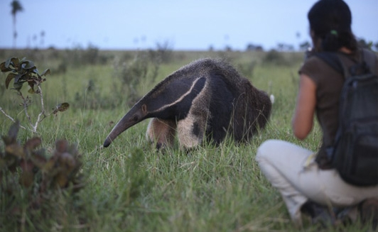 Anteater - Southwild Pantanal Lodge