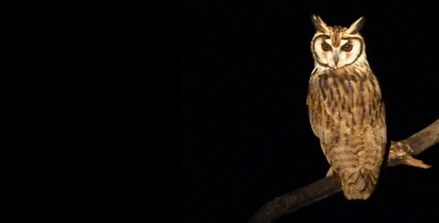 Nocturnal Wildlife - Striped Owl, Pantanal