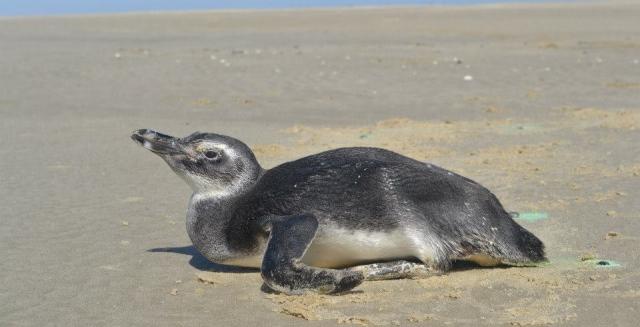 Penguin, Lighthouse Trek