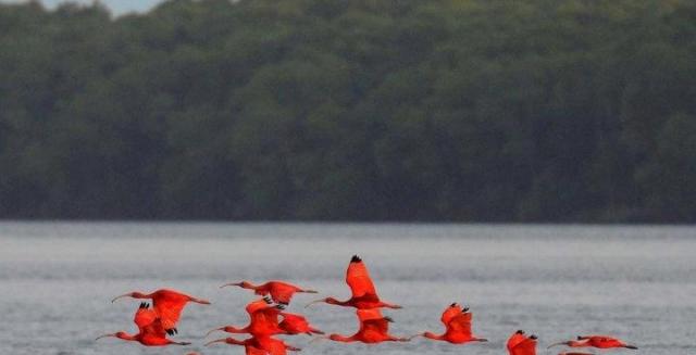 Scarlet Ibis, Parnaiba Delta