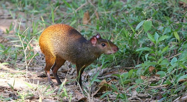Red-Rumped Agouti, REGUA Atlantic Rainforest Lodge