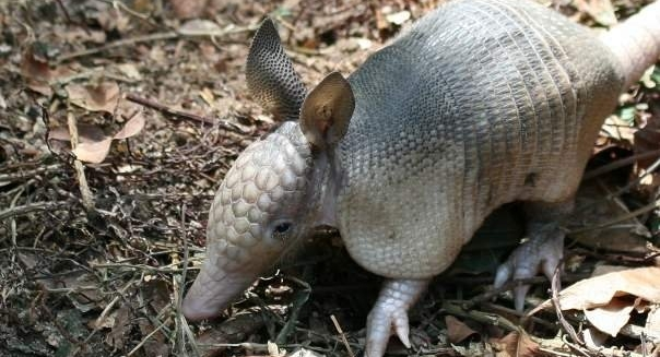 Nine-Banded Armadillo, REGUA Atlantic Rainforest Lodge