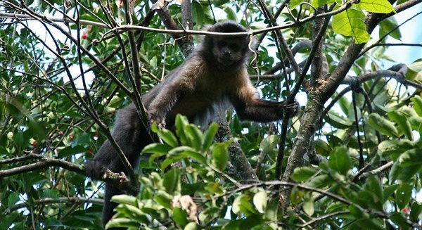 Brown Capuchin Monkeys, REGUA Atlantic Rainforest Lodge