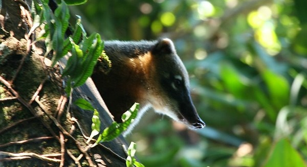Coati, REGUA Atlantic Rainforest Lodge