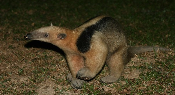 Collared Anteater, REGUA Atlantic Rainforest Lodge