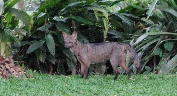 Crab-Eating Fox, REGUA Atlantic Rainforest Lodge