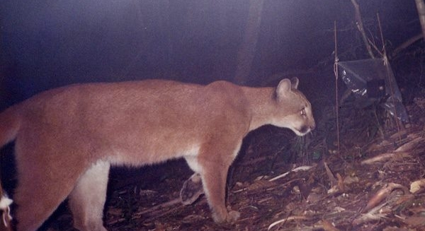 Puma caught on a camera-trap, REGUA Atlantic Rainforest Lodge