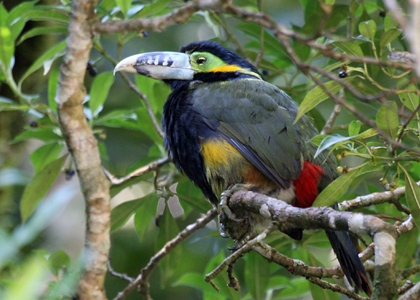 Spot-Billed Toucanet, REGUA Atlantic Rainforest Lodge
