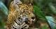 Jaguar - MY Tucano Amazon Cruise