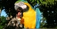 Blue & Yellow Macaw, Pantanal