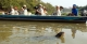 Giant Otter Swimming - Southwild Pantanal Lodge