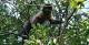 Brown Capuchin Monkeys, REGUA Atlantic Rainforest Lodge