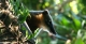 Coati, REGUA Atlantic Rainforest Lodge