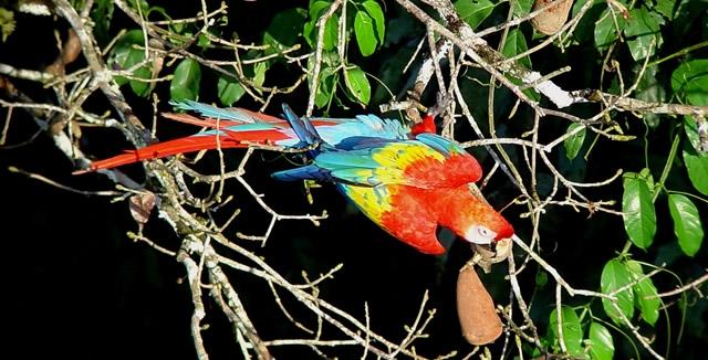 Scarlet Macaw at Cristalino Lodge