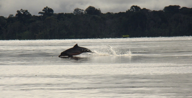 Amazon River Dolphin, Uacari Lodge