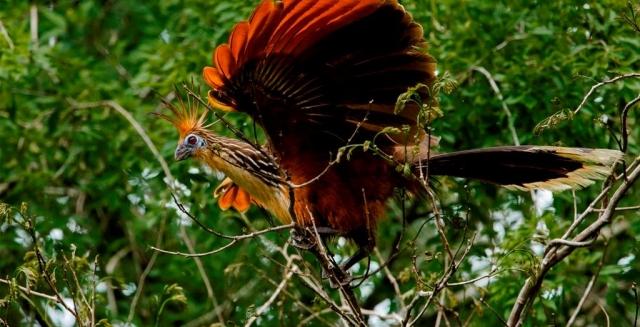 Hoatzin, Mamiraua Amazon Reserve